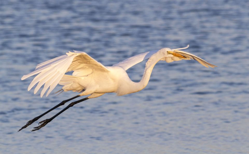 Egret-flying-in-twilight-568860419-581b72fc5f9b581c0bfbcebf